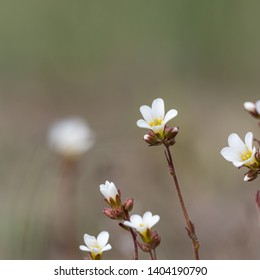 White summerflower Saxifrage closeup by a blurred background