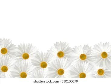 White sunflower floras on white background
