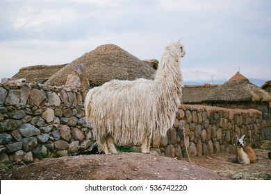 A white suri alpaca standing in front of a local family compound near Puno, Peru. Alpaca is a widely domesticated South American camelid, bred specifically for their fiber.
