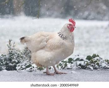 White Sussex chicken in the snow