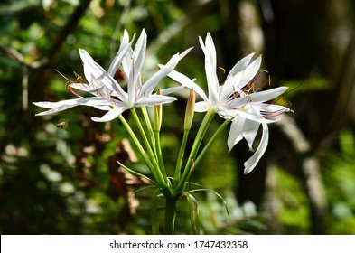 White swamp lily in the Everglades