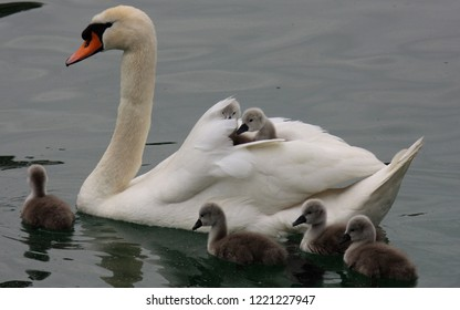 White swan with babies swim in the river