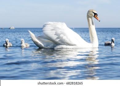 White Swan.  Baby bird.