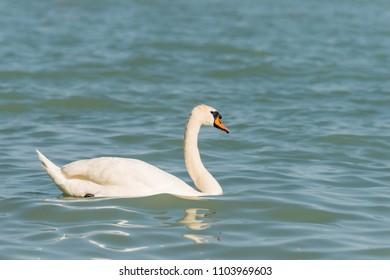 white swan background