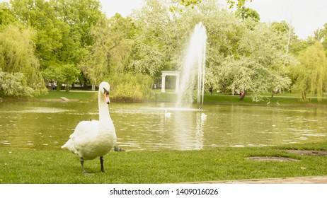 White swan, big bird, wildlife, wild bird, swan is walking, glade, bird on the grass, park, vacation, wildlife, beautiful bird, beautiful swan