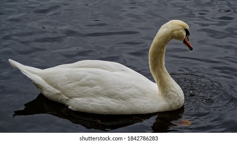 White Swan in a black pond. Palaces and parks of the Leningrad region. Gatchina.