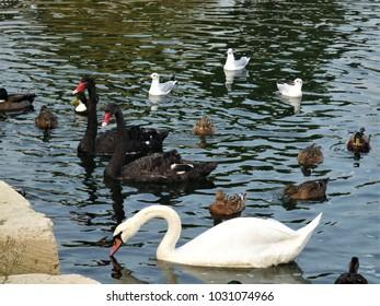 white swan ,black swans ,ducks and sterns  swimming