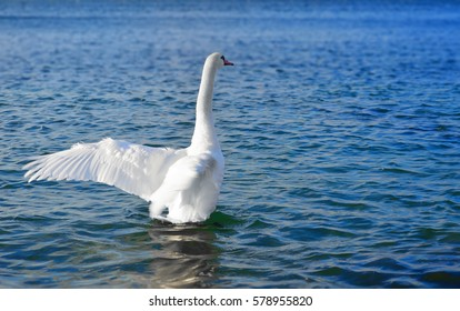White swan in the blue sea water spread its wings