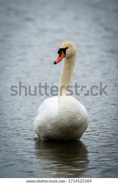 White swan at Central Park, Carmel, Indiana