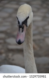 white swan close up face
