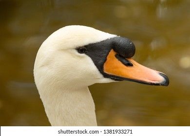White swan close up portrait nature.