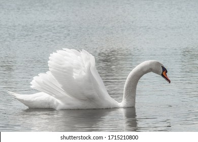 White swan close up swims in the lake. Wallpaper or postcard