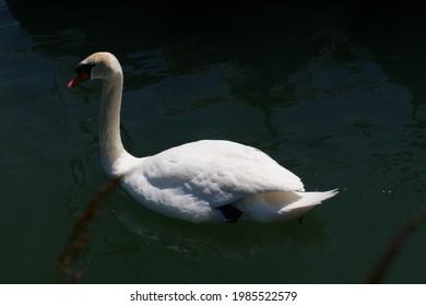 White swan closeup on water at Augst. CH Switzerland 1st June 2021