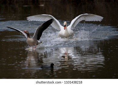 A white swan (cygnus olor) going after  gray goose (anser anser) after the goose penetrated the swan´s nest area.