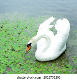 White swan eats plants on a flowering pond.