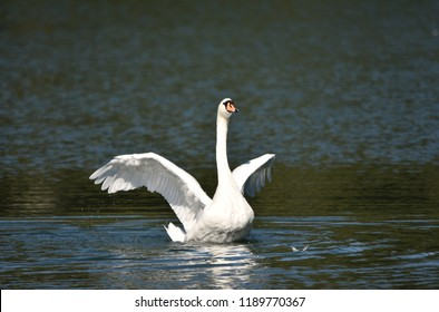 White Swan Flapping its Wings on a Lake