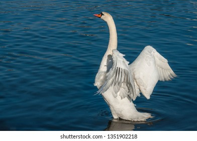 White swan flapping its wings on a river