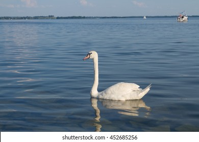 White swan floating on the blue sea.