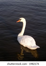 White swan floating on dark river