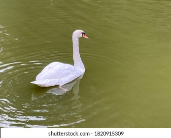 white swan floating on the river with soft focus