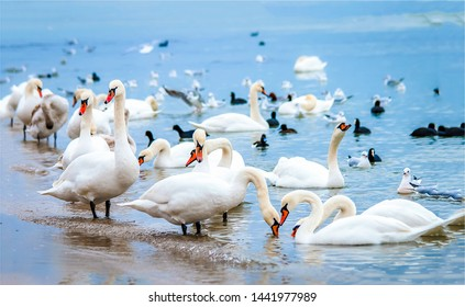 White swan flock on sea beach. White swans. White swan flock view. White swan flock scene