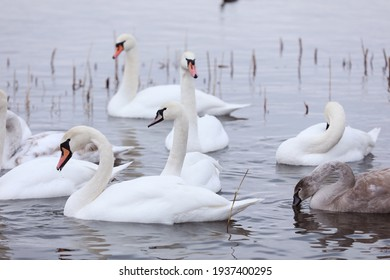 White swan flock in spring water. Swans in water. White swans. Beautiful white swans floating on the water. swans in search of food. selective focus.