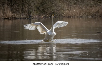 White Swan flying over water