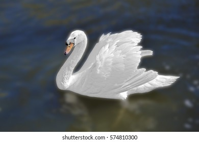 White swan in the foggy lake at the dawn. Morning lights. Romantic background. Beautiful swan. Cygnus. Romance of white swan with clear beautiful landscape.