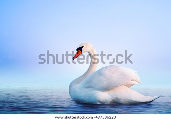 Белый лебедь в туманном озере на рассвете. Утренние огни. Романтический фон. Красивый лебедь. Синнус. Романтика белого лебедя с прозрачным красивым пейзажем.