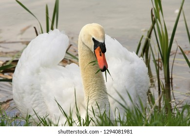 White swan with green grass in its beak