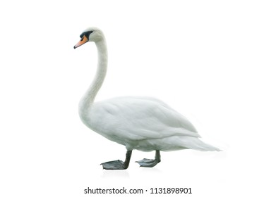 White swan isolated over a white background