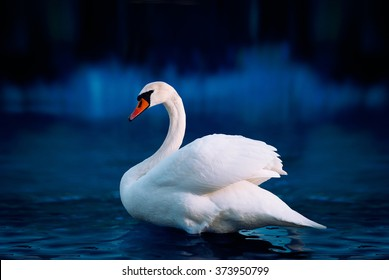 White swan in the lake with blue dark background on the sunset.