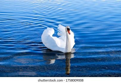 White swan in lake water. Swan in water. White swan portrait. White swan in nature