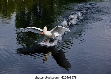 White swan landing on the surface of a pond