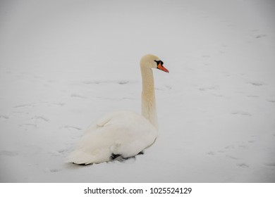 The White Swan lies on the snow.