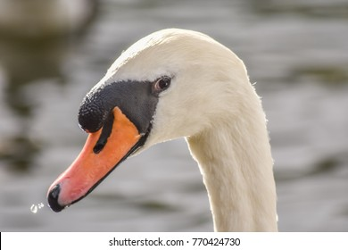 White swan is looking at camera while swimming in the lake, Moses Gate Country Park, Bolton, England.