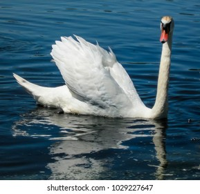 White swan on a blue lake surface