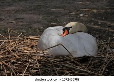 white swan on her nest