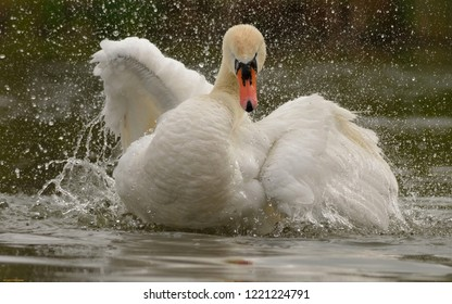 White swan on the lake flapping wings