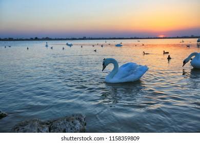 White swan on Lake Sasyk-Sivash at sunset near Evpatoria in Crimea