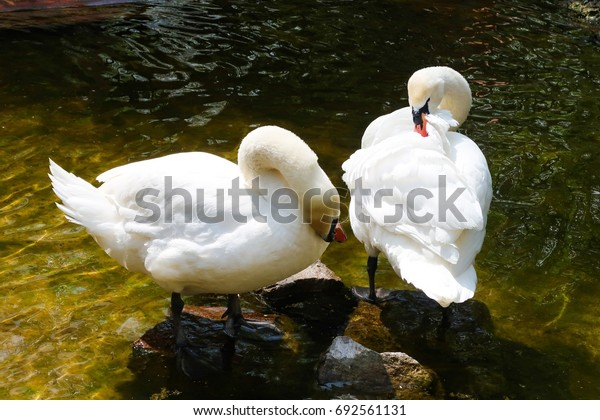 White swan on a pond
