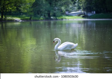 White swan on a pond in Tsaritsyno park.