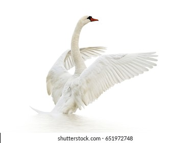 White swan on white surface.