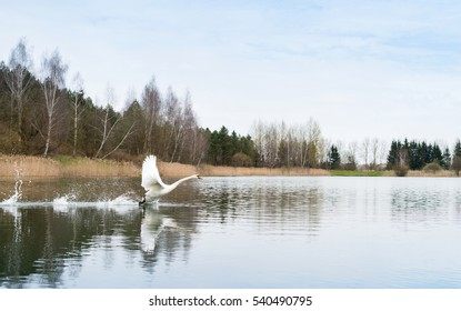 white swan on the water accelerates for takeoff