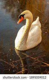 White swan on the water, closeup photo.