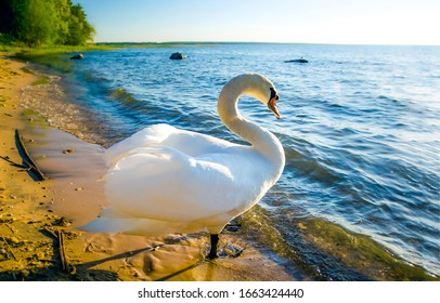 White swan onlake shore. Swan on beach. Swan on shore