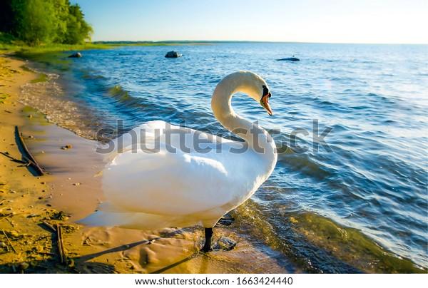 White swan onlake shore. Swan on beach. Swan on shore