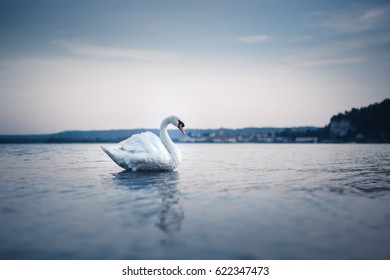 White swan in a perfect pose on the calm surface of the lake. Focus on the swan, foreground and background (City and rocks) out of focus. The reflection of water surface mirrors the swan.