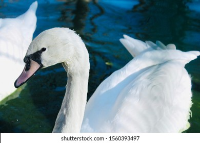 White swan with a pink beak and a black spot near the beak. White swan on the water close-up. The swan is looking into the lens.