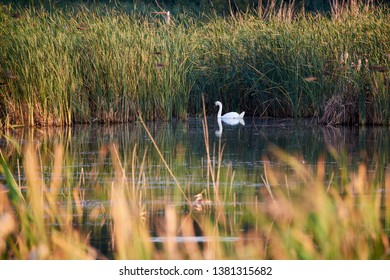 White swan in a pond surrounded by tall grass, rush and bushes with water reflection